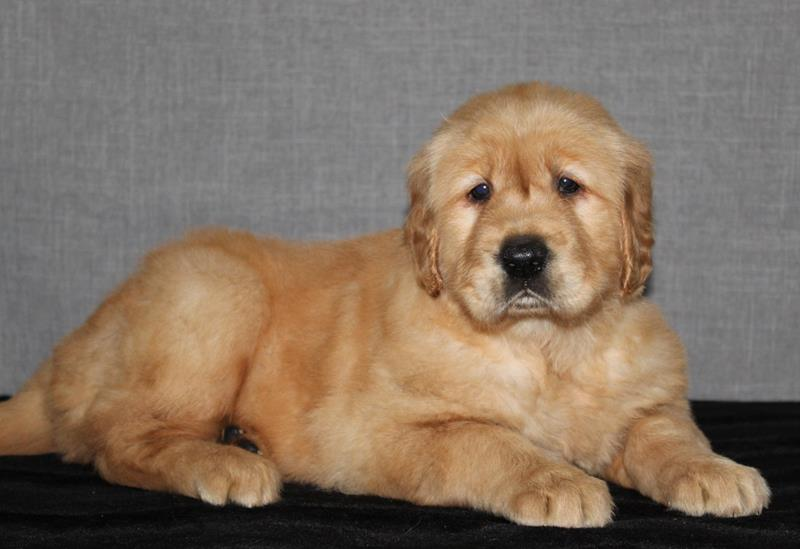 Golden Retrievers | Amigo Acres