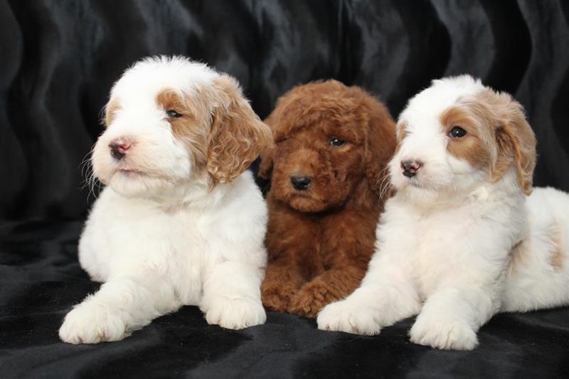 Goldendoodle Puppies | Amigo Acres